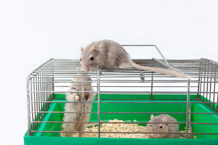 three gray mouse gerbil and cell cage Stock Photo