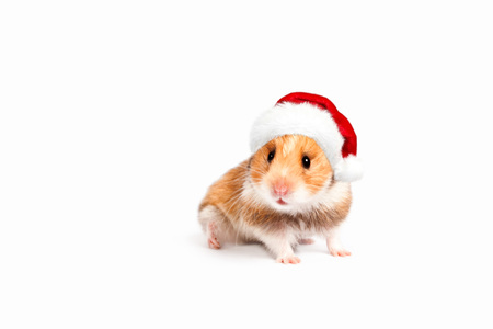 santa hamster: Hamster in a red Santa hat. Merry Christmas. Happy New Year and Banner Stock Photo