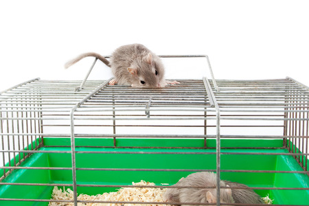 gray mouse gerbil and cell cage