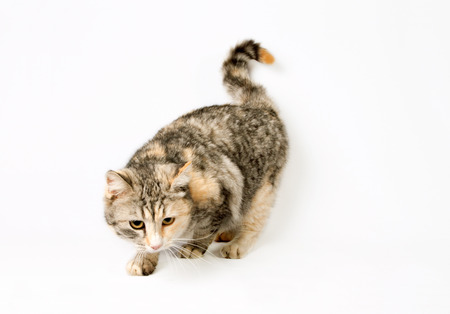 calico whiskers: smart spotted cat sneaks (hunting). isolated on white background Stock Photo