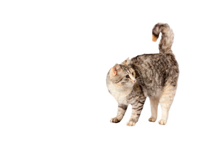 calico whiskers: pedigreed furry spotted cat growls. isolated on white background Stock Photo
