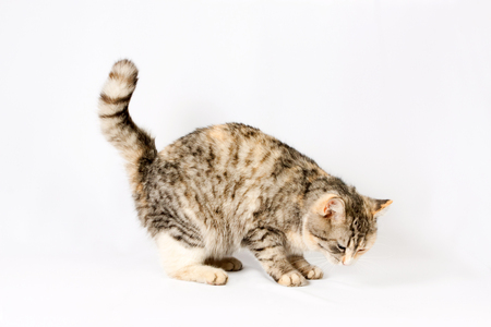 pedigreed furry spotted cat growls. isolated on white background Stock Photo