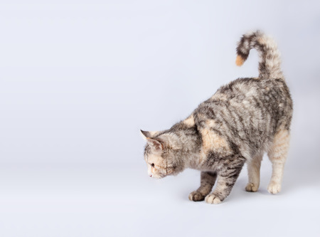 pedigreed: pedigreed furry spotted cat growls. isolated on white background Stock Photo