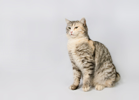 pedigreed: pedigreed shorthair spotted cat sits.  isolated on white background