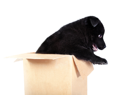German Shepherd puppy is sitting in a box and looking out. Isolated on white background