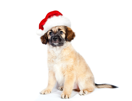 puppy of golden retriever (shepherd) in a santa hat isolated on white background