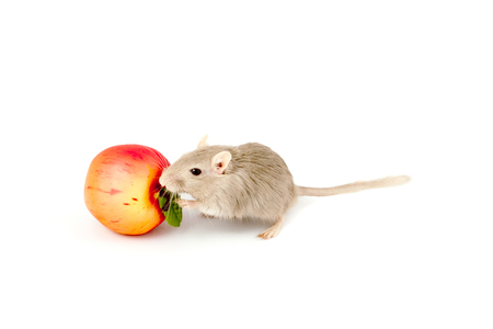 gray mouse gerbil with toy fruit (Meriones unguiculatus)