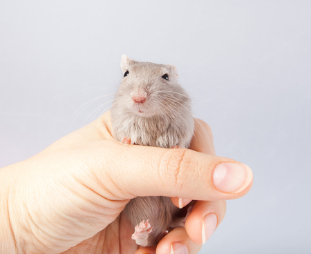 little gray mouse in a mans hand (Meriones unguiculatus) Stock Photo
