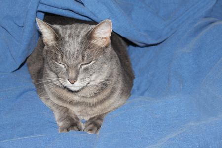 adult gray cat under a blue blanket