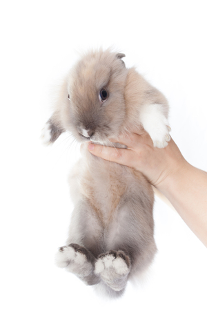 Woman holding a small funny dutch rabbit isolated on white background Stock Photo