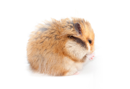 beautiful Syrian hamster sits sideways and washes his nose. isolated on white background
