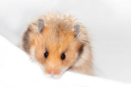 Cute funny Syrian hamster isolated on white Imagens