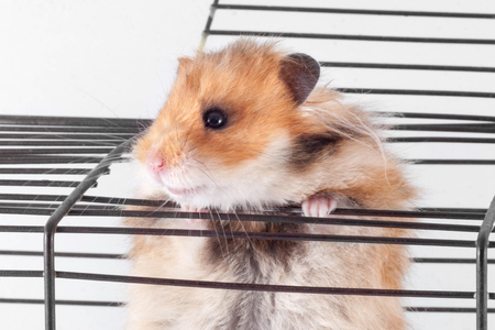 Syrian Hamster trying to escape from the cage 版權商用圖片