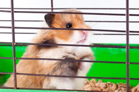 Brown Syrian hamster gnaws inside a cage, eager to freedom