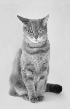 Portrait of a grey european short-hair cat black and white Фото со стока