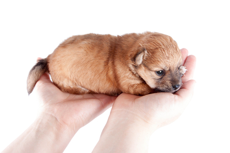 cute and funny newborn puppy in the hands of a caring owner. small breed dog isolated on white background.