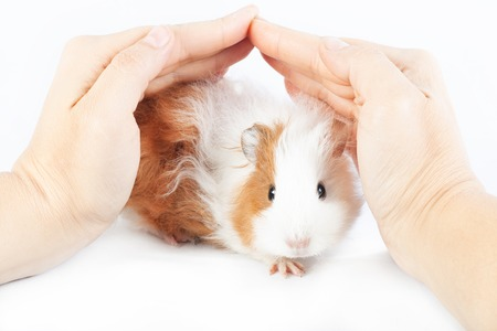 Funny guinea pig and hands on a white background Reklamní fotografie