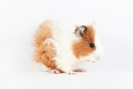 Adorable guinea pig washes isolated on white background. Reklamní fotografie
