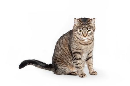 schöne intelligente katze, die vorne sitzt und nach unten schaut. isoliert auf weißem Hintergrund
