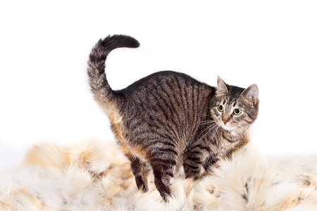 Adult striped cat stands on a fur rug. isolated on white background