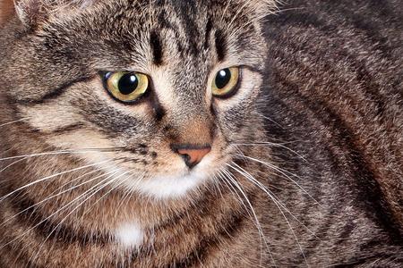 Close-up portrait of a pretty adult striped cat. Banco de Imagens