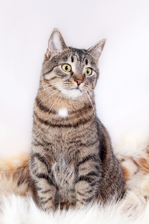 Adult beautiful tabby cat sitting on a fur rug. isolated on white background Stok Fotoğraf