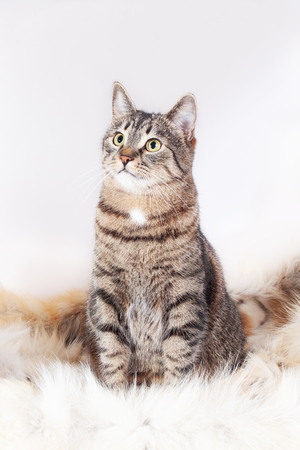 Adult beautiful tabby cat sitting on a fur rug and looking up. isolated on white background