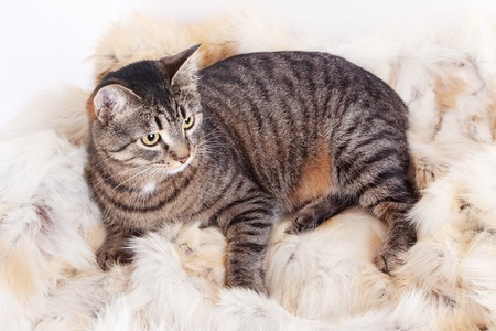 beautiful striped cat lying on a fur rug. isolated on white background Stok Fotoğraf