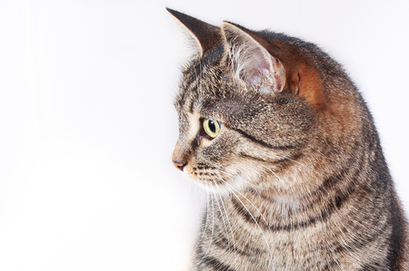 Close-up portrait of a pretty adult striped cat. Stok Fotoğraf