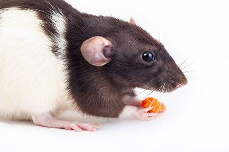 Le rat domestique mignon mange un morceau de carotte isolé sur fond blanc. Symbole de l'année selon l'horoscope chinois