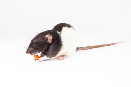 Cute domestic rat eats a piece of carrot isolated on white background. Symbol of the year according to the Chinese horoscope 免版税图像
