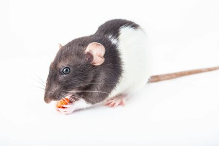 Cute domestic rat eats a piece of carrot isolated on white background. Symbol of the year according to the Chinese horoscope Stock fotó