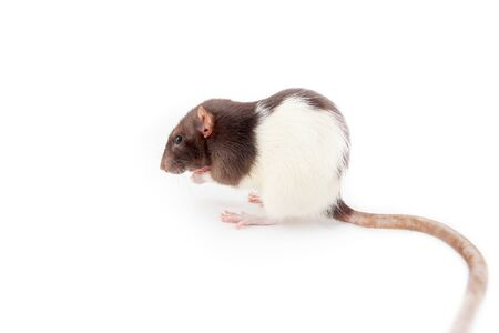 Rat isolated on white background. Symbol of the year according to the Chinese horoscope 免版税图像