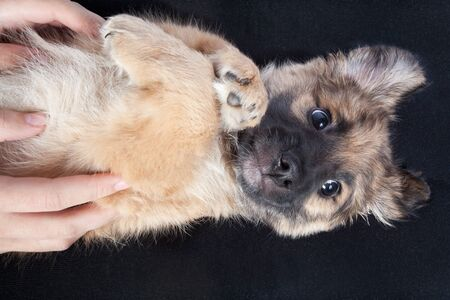 puppy golden retriever in the hands of the owner closeup