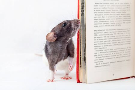 Rat is looking into a book. Decorative rat Isolated on a white background.