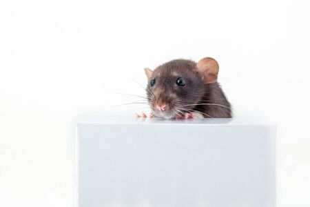 black and white domestic rat stands with its front paws on the box and peeks out from behind it. isolated on a white background. 版權商用圖片