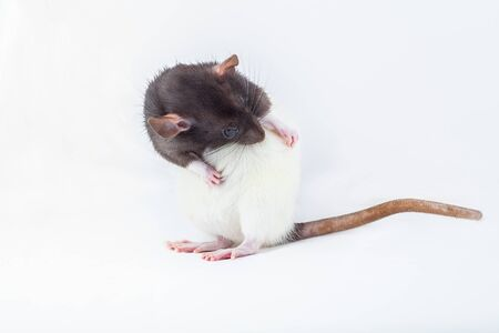 Rat is washing itself with its paws. Spotted rat isolated on white background. Domesticated rat close up. Rodent pets. 版權商用圖片
