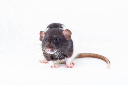 Black and white rat isolated on a white background. home decorative rat