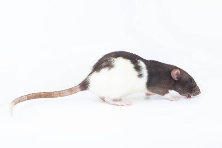 black and white domestic rat licks the floor. Spotted rat isolated on a white background. 版權商用圖片