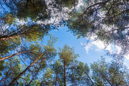 Tall old coniferous trees in the forest, bottom view. Selective focus, blue sky background.