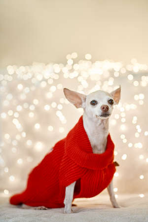 Cute chihuahua dog wearing a Christmas costume