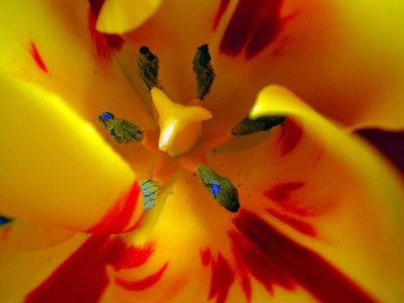 beautiful red tulips close up: Yellow-red tulip Stock Photo