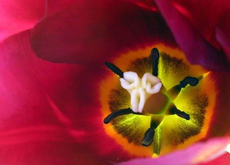 Deep red tulip Stock Photo - 514173