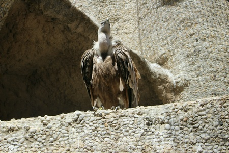 Vulture watching watchman.