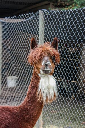 Domestic alpaca