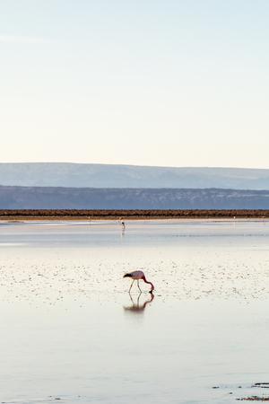 Flamingos at Chaxa Lagoon in Atacama Desert, Chile. 版權商用圖片