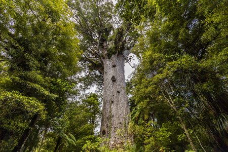Tane Mahuta, the lord of the forest: the largest Kauri tree in Waipoua Kauri forest, New Zealand. Stock Photo