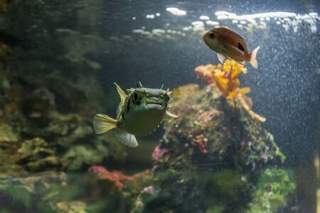 Porcupine pufferfish on the aquarium