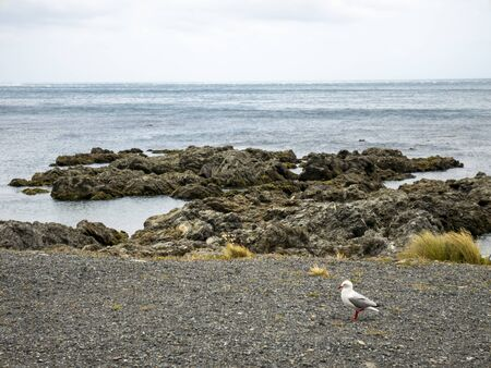 Seagull on the shores of Wellington, New Zealand