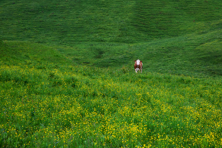 rauris: Cows on green meadow. Morning at dawn in the Alps, Austria, Rauris. Nature landscape